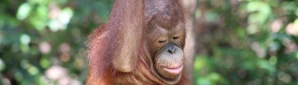 An orangutan swinging through the forest.