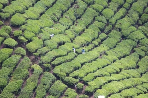 the Boh tea plantation showing rows of richly coloured green tea plants and tiny figures picking the leaves